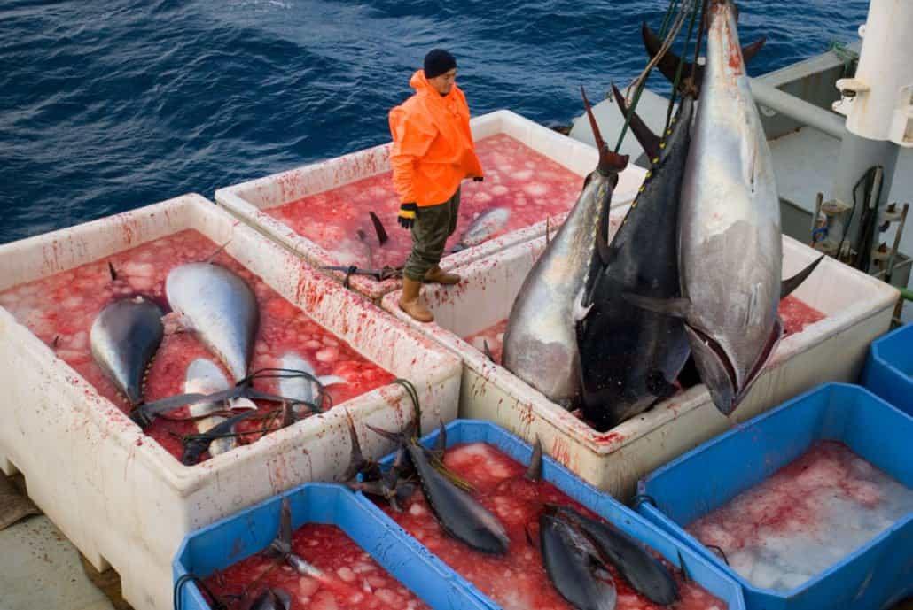 overfisihing_bluefin_tuna